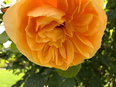 peach coloured rose