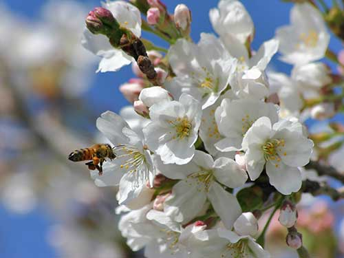 spring blossom with insect