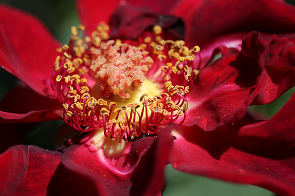 deep red flower blossoming