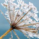 snowflake on flower head
